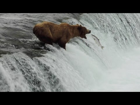 Worlds largest gathering of Bears & Eagles at the Katmai wilderness of Alaska