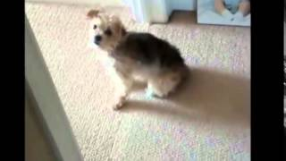 HAHAH! dog gets spooked and drags his butt away on carpet! best yet!