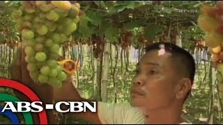 Must try: Grape picking in La Union