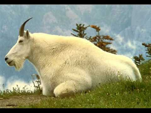 Amorphous Androgynous - Mountain Goat