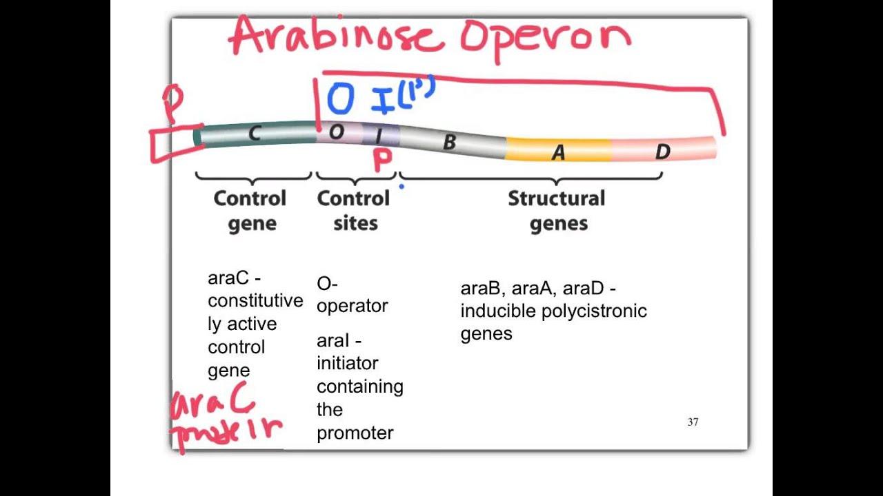 L Arabinose Biol 360 Tutori...