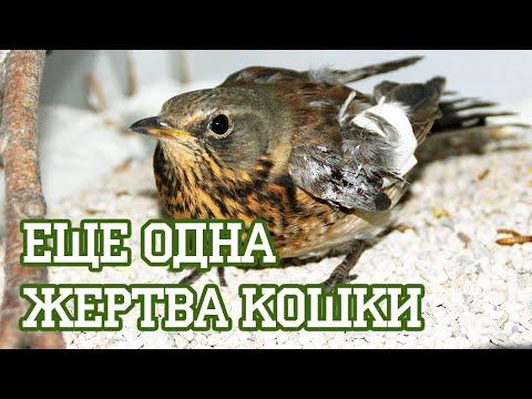 Вопрос: Дрозд рябинник. Как выглядит, описание птицы, фото?