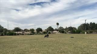 3yo Australian Cattle Dog Mix Kenna~ Best Cattle Dog Trainers Phoenix