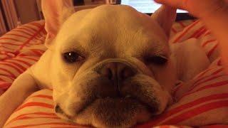 Sleepy French Bulldog  || ViralHog
