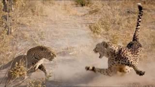 Леопард и гепард (Leopard kills cheetah)