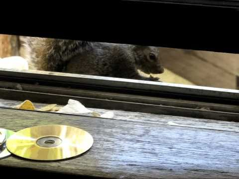 Squirrels Refuse GM Genetically Modified Corn Tortilla.avi