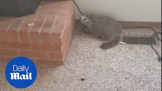 Man vs marmot: Watch man failing to evict marmot from house - Daily Mail