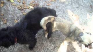 los perros de chus el amor perruno