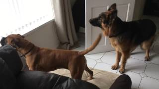Boxer & GSD Protect House