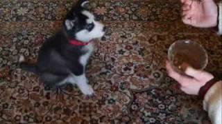 2 aylık Sibirya Kurdu - Bekleee! :) / 2 month old Siberian Husky