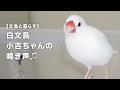 白文鳥の鳴き声(ピピピピピ)【文鳥と暮らす#034】