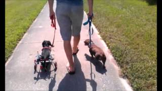 Fighting Dachshunds Learn How To Walk- Take The Lead K9 Training