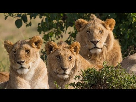 Hidden population of lions discovered in Ethiopia