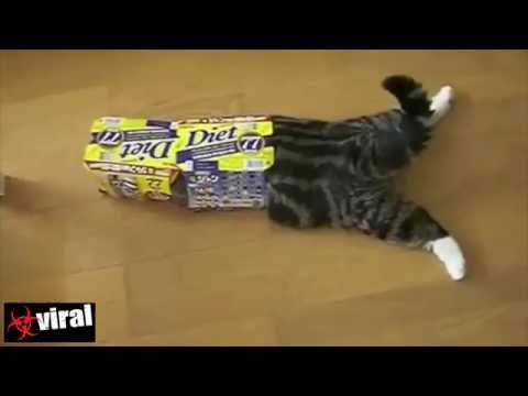 The funny Japanese cat MARU