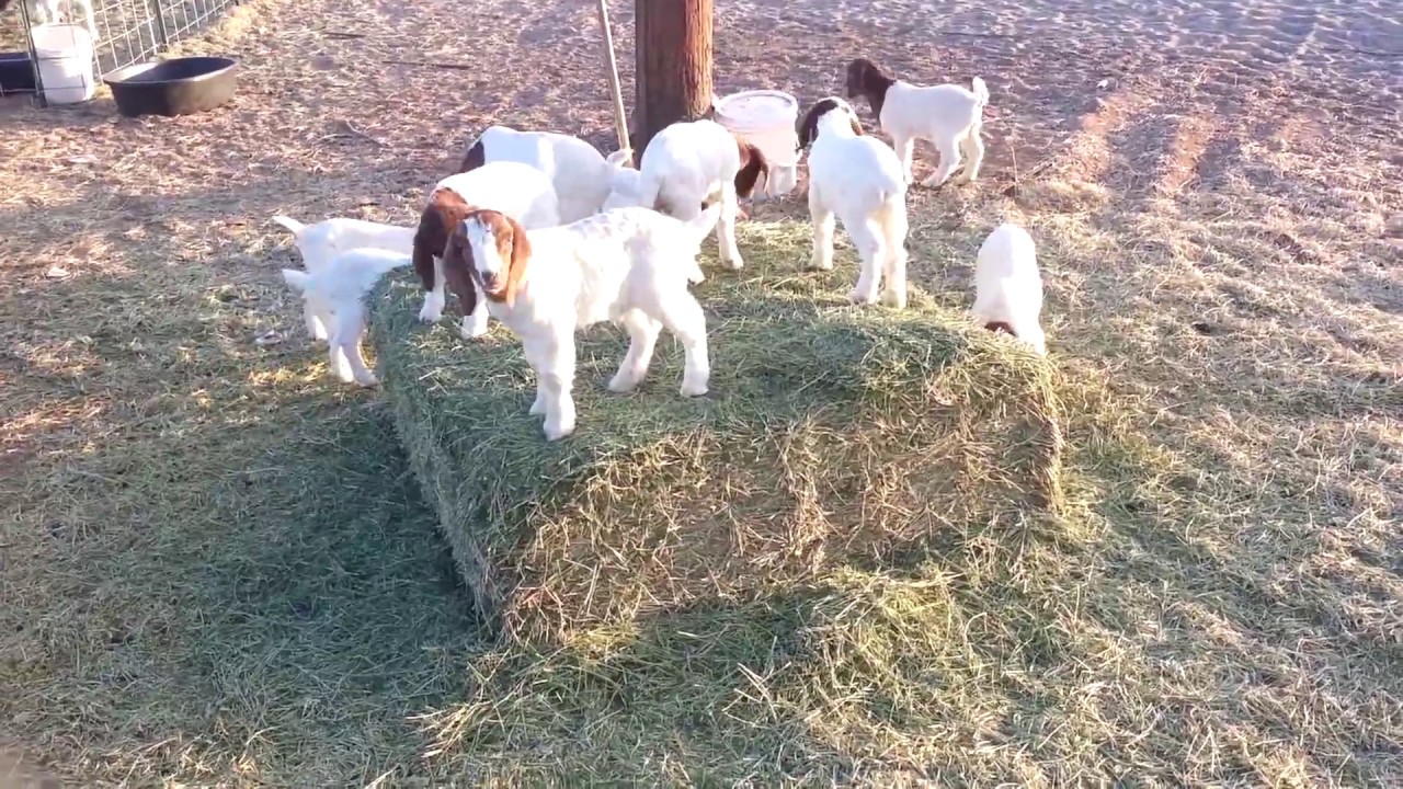 Baby Goats Playing and Jumping - YouTube