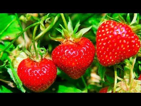 Как увеличить урожай клубники