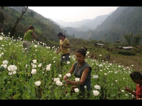 Download Burma Myanmar Golden Triangle Poppy  Opium Trade  Thailand Laos