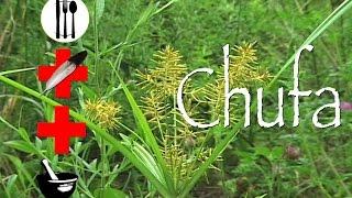 Chufa Flatsedge: Edible, Medicinal & Other Uses