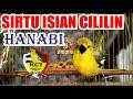 Hanabi Sirtu Cipoh Gacor Isian Cililin Komunitas Cipow Tangerang  Mp3 - Mp4 Download