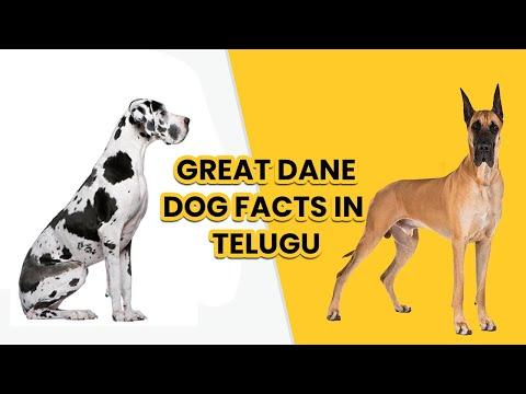 Great Dane dog Facts in Telugu || Popular breed dog | Pets TV Telugu