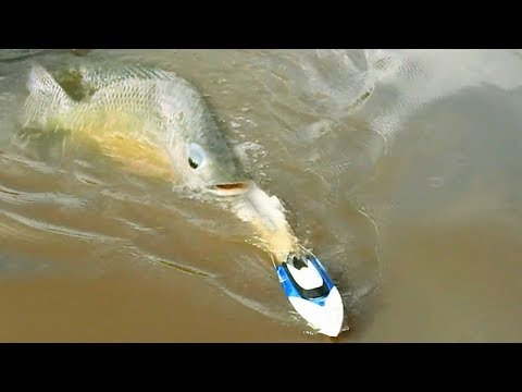 Thumbnail: How To Fishing By Using RC Boat In Cambodia -Khmer Fishing At Siem Reap Cambodia