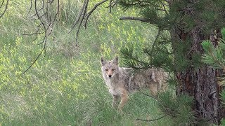 Decoy Dogs Coax in Stubborn Coyote