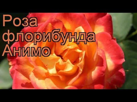Роза флорибунда Анимо 🌿 флорибунда роза Анимо обзор: как сажать, саженцы розы Анимо