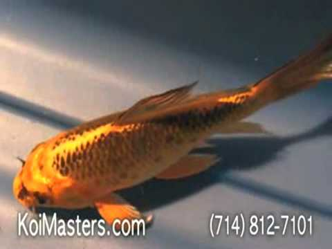 Butterfly koi fish for sale bkf002 yellow black gold for Black and gold koi