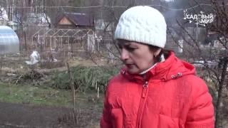 видео Обрезка жимолости съедобной
