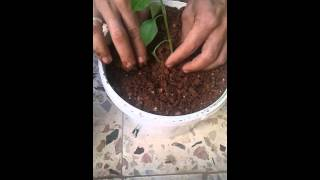 Hobi.Saksıya çherry domates fidesi ve dolmalık biber fidesi ekimi.
