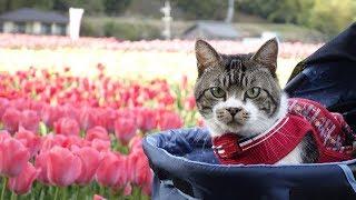 猫と満開のチューリップ畑でお散歩☆リキちゃんと春のおでかけ・GoProHERO7撮影【リキちゃんねる 猫動画】Cat video キジトラ猫との暮らし