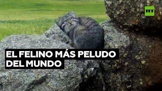 Un gato salvaje cuyo pelaje le permite resistir hasta -50 °C | RT Play