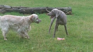 Weimaraner Sebastian & English Setter Otis.