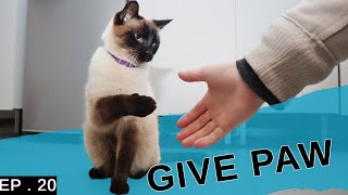 Teaching my Siamese cat to give paw. (He's so clever!)