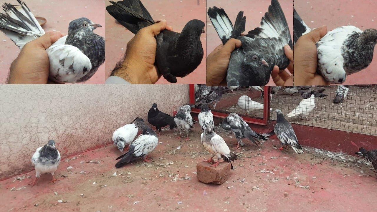 11 Baby Pigeons Gift Ay || Hashim Mahmood Pigeons