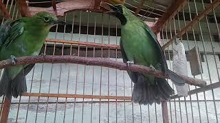 Burung Cucak ijo aceh ( OB )
