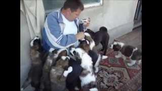 Кормление щенков московской сторожевой. Feeding puppies. 2009г.