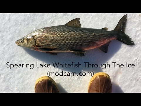 Traditional Spearing For Lake Whitefish Through The Ice