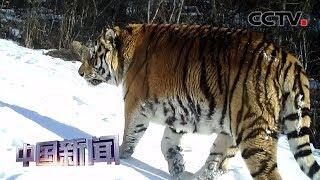 [中国新闻]黑龙江鹤岗:太平沟国家级自然保护区发现野生东北虎| CCTV中文国际