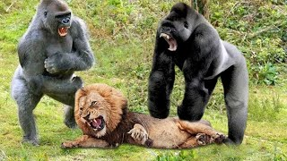 Lion VS Gorilla Real Fight  Gorilla VS Lion Amazing Predator Fights  Blondi Foks