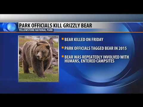 Yellowstone National Park kills aggressive bear