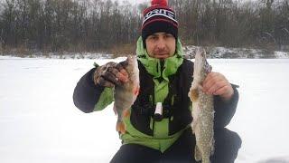 Очень Голодные Окуня на Живца Рыбалка на Реке Зимой