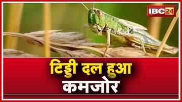 Kawardha: दो दलों में बंटे टिड्डी | कवर्धा में टिड्डी दल हुआ कमजोर | Locust Attack in Chhattisgarh