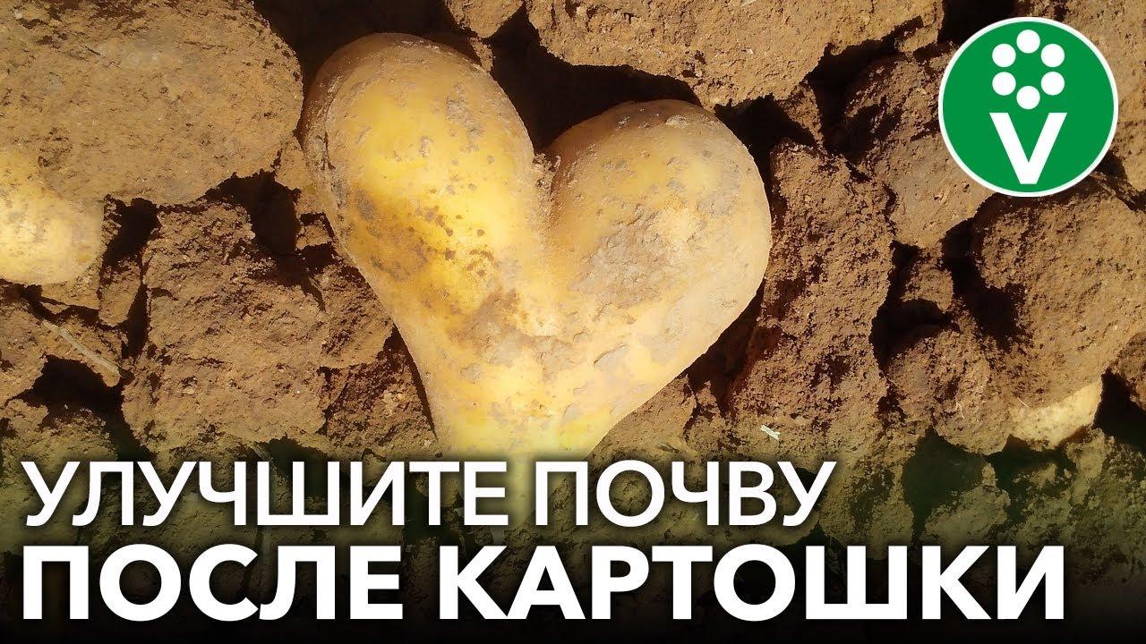 СРАЗУ ПОСЛЕ УБОРКИ КАРТОФЕЛЯ ПОСЕЙТЕ ЭТИ СИДЕРАТЫ для здоровой плодородной почвы без сорняков