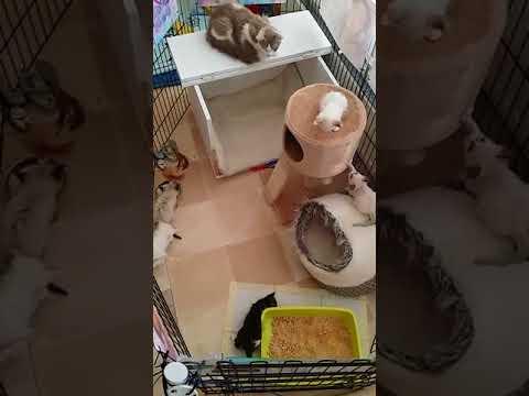 LaPerm  kittens running around in their bench