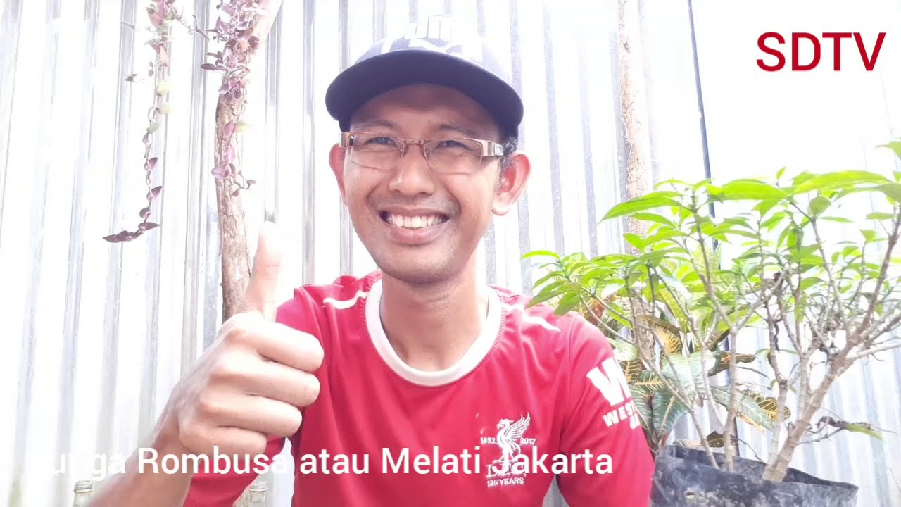 Cara Stek Batang Bunga Rombusa Media Air Youtube
