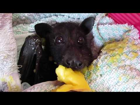 Rescued bat stuffs cheeks full of fresh mango