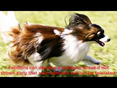 Cute and cuddly is most people's first impression of Papillon dogs.