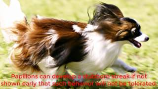 The Papillon dog gets its name from the French word for butterfly. ...