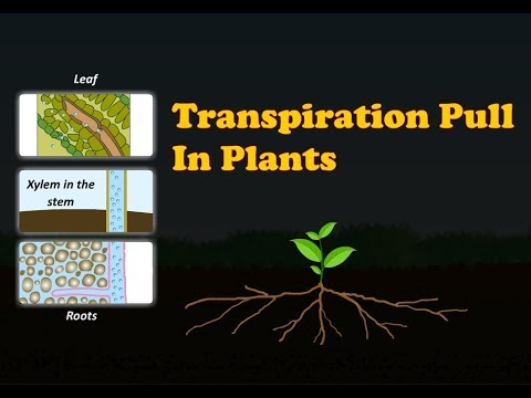 what happens during transpiration